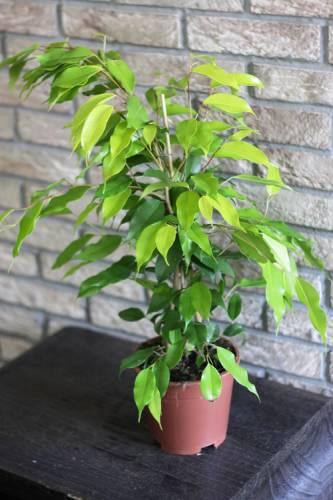 Комнатное растение фикус бенджамина