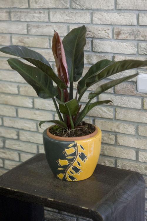 Комнатные растения лиственные фото